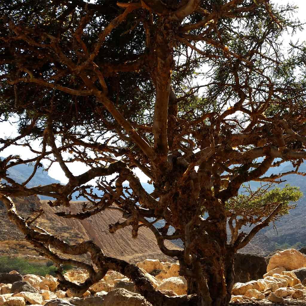 Wunderschöner-Weihrauchbaum