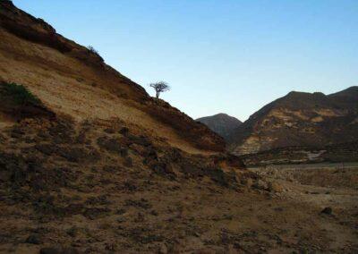 Einsamer-Weihrauchbaum