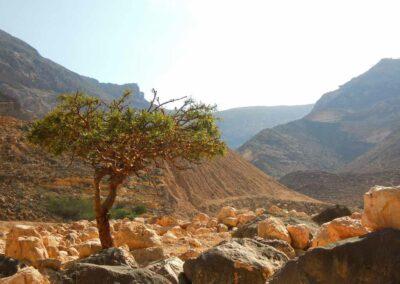 Erhabener-Weihrauchbaum
