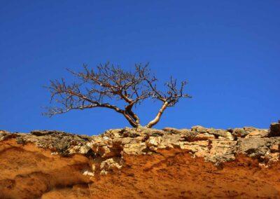 Junger-Weihrauchbaum
