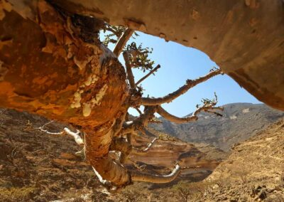 Weihrauchbaum über Weihrauchtal