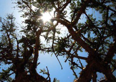 Sonnensüchtige-Weihrauchbaum