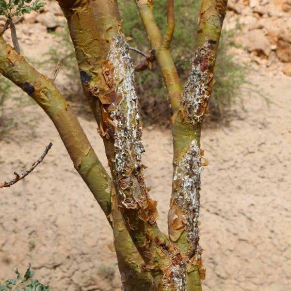 Maydi-Weihrauch-Baum