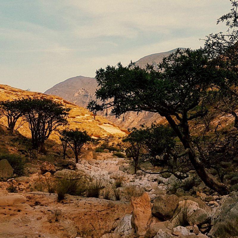 Weihrauchbäume im Oman